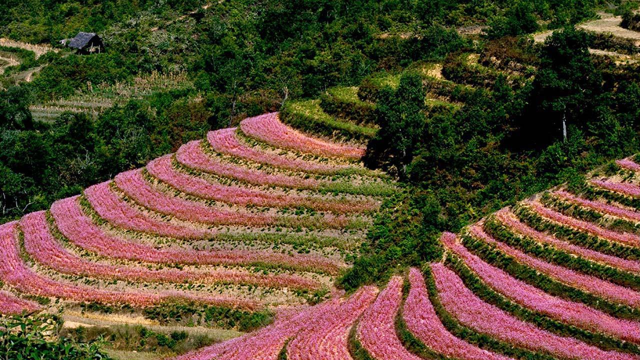 Hoa tam giác mạch, thung lũng Sủng Là