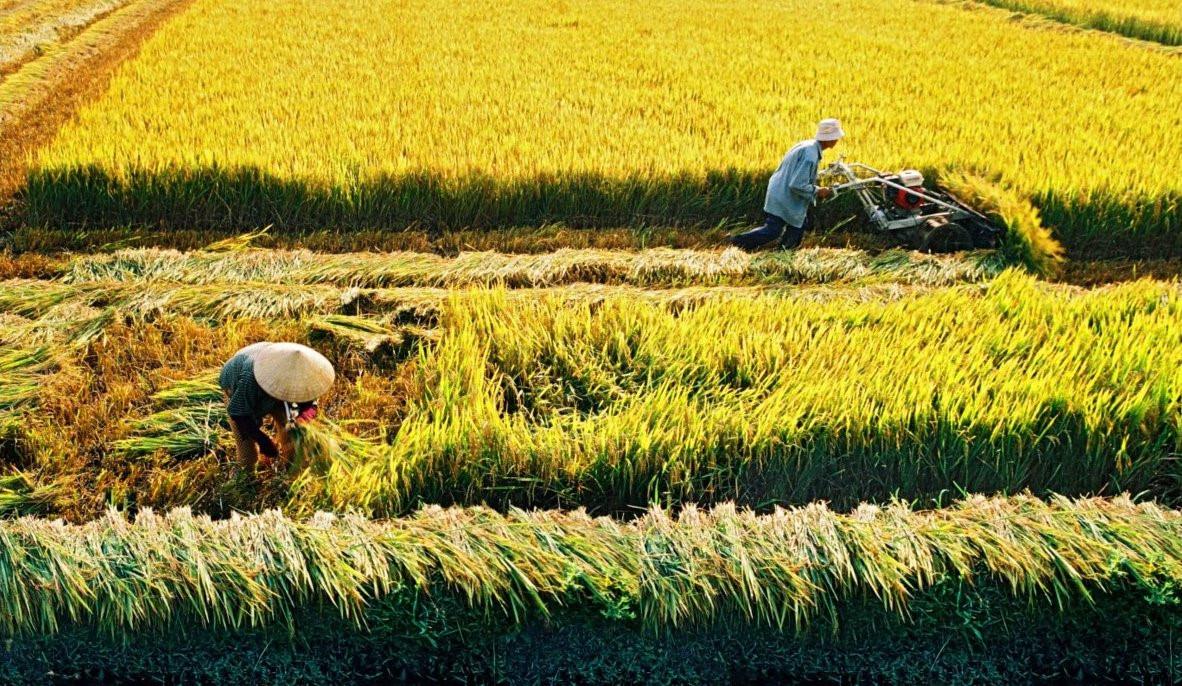 Đất trồng lúa là gì? Điều bạn cần biết